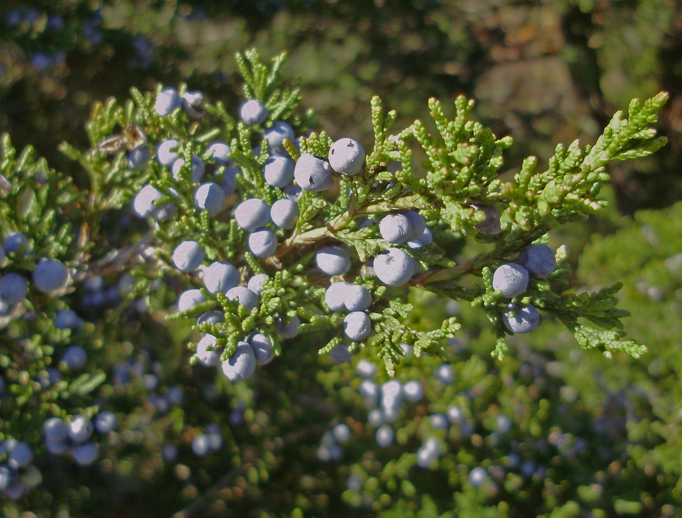 Gin glorious gin for The juniper
